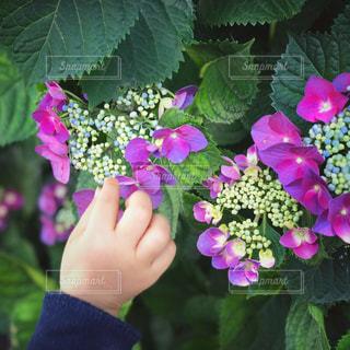 紫陽花と子どもの写真・画像素材[2098875]