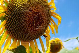 48.ひまわりと蜂と空の写真・画像素材[723598]
