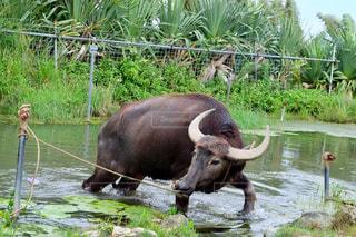 79.水牛さんの写真・画像素材[723985]