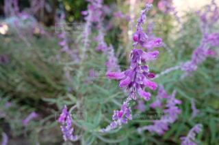 183.紫の写真・画像素材[887543]
