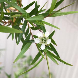 レモンティーツリーの花の写真・画像素材[2406550]