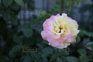 花の写真・画像素材[20578]