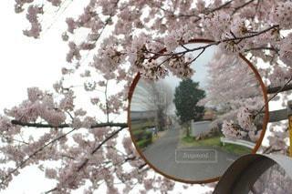 桜の写真・画像素材[36534]