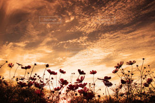 秋桜の写真・画像素材[739755]