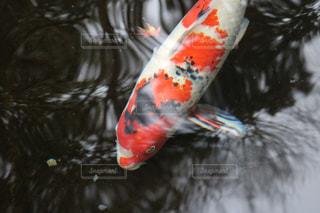 鯉 - No.723701