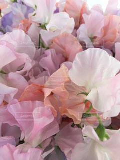 スイトピーの花束の写真・画像素材[723703]