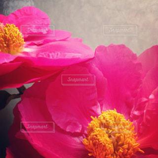 牡丹の花の写真・画像素材[723019]