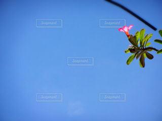 青空に咲く花の写真・画像素材[724157]