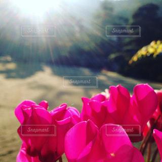 朝日を浴びる花の写真・画像素材[724179]