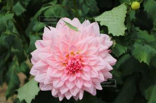 花の名は、ダリア。ただバッタが?の写真・画像素材[723258]