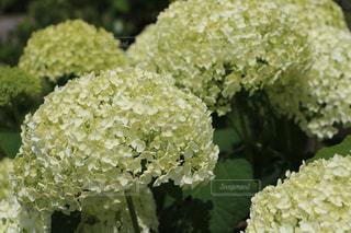 北海道に咲く白紫陽花。の写真・画像素材[723325]
