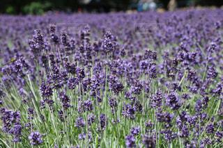 香るラベンダー畑。の写真・画像素材[723365]