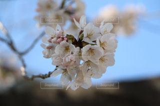 桜咲く。の写真・画像素材[1099623]