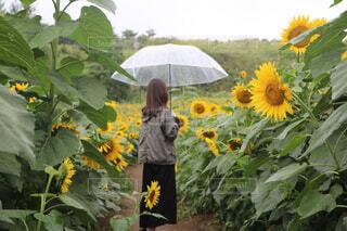 ひまわり畑の女性。の写真・画像素材[4610522]