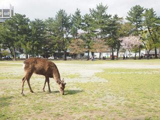 草の覆われたフィールド上を歩く大きな茶色の馬の写真・画像素材[724692]