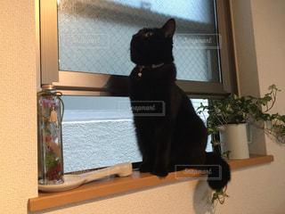 猫背じゃない黒猫ちゃんの写真・画像素材[746461]