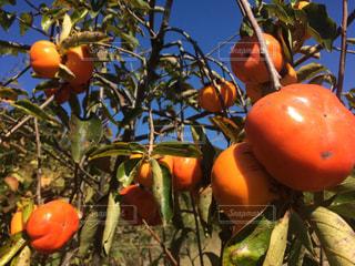 青空と柿の写真・画像素材[831212]