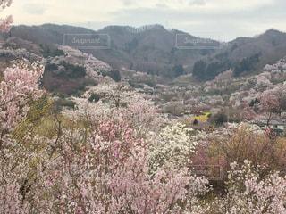 桜満開の写真・画像素材[727183]