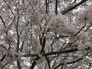 桜満開の写真・画像素材[727197]