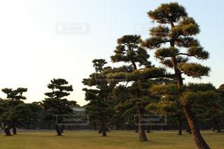 並んで生えている松の写真・画像素材[726286]
