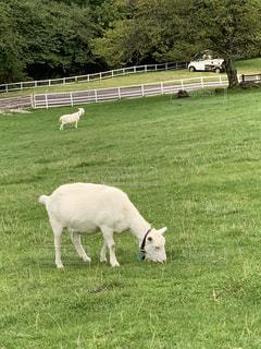 高原の牧場で草を食む山羊の写真・画像素材[1499012]