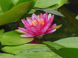 蓮子の花の写真・画像素材[738083]