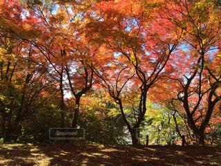 空を覆う紅葉 - No.811636