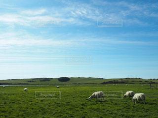 緑豊かな草原で放牧の羊の群れの写真・画像素材[812670]