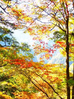 鮮やかな紅葉の写真・画像素材[818277]