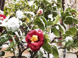 雪積もる花 - No.753075