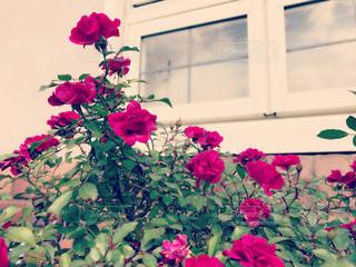 薔薇🌹 - No.837353
