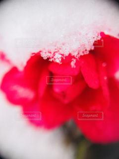 雪が積もった花 - No.980370