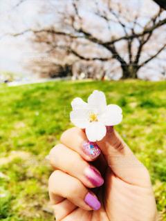 桜の花びらの写真・画像素材[1091435]