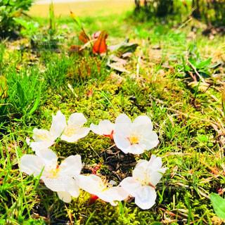桜の輪🌸の写真・画像素材[1095470]