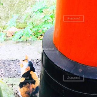 神社に住んでる三毛猫ちゃんの写真・画像素材[1132510]