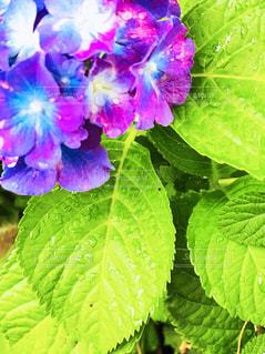 雨の中の紫陽花の写真・画像素材[1212860]
