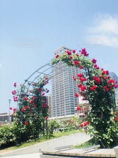 薔薇🌹とビルの写真・画像素材[1212906]