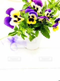 ビオラの花の写真・画像素材[1237477]