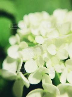 白い紫陽花の花の写真・画像素材[1274358]