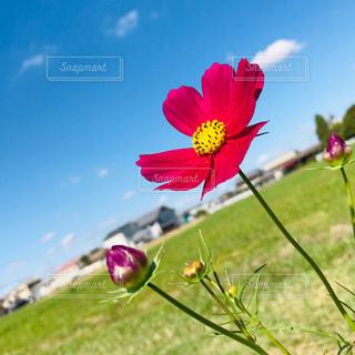 赤のコスモスの花の写真・画像素材[1526208]