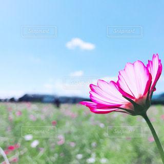 ピンクコスモスの花の写真・画像素材[1528797]
