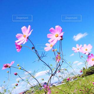 晴天のコスモス畑(*^ω^*)の写真・画像素材[1533854]