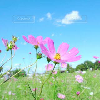 秋晴れとコスモス畑の写真・画像素材[1569847]