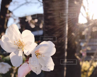 朝陽と桜🌸の写真・画像素材[1884451]