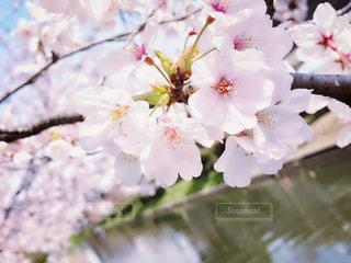 まんかいの桜の風景の写真・画像素材[1989495]