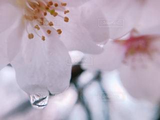 雨の日の花びらの写真・画像素材[2000922]