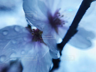 雨の日の桜🌸の写真・画像素材[2020742]