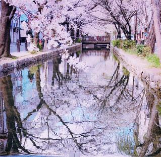 水面に映り込む桜がとても綺麗ですの写真・画像素材[2049236]