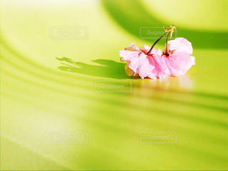 双子の桜の花の写真・画像素材[2050297]