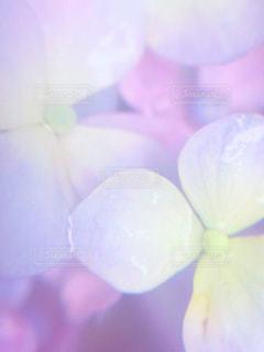 ピンクの花びらの写真・画像素材[2181616]